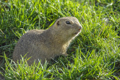 Ground squirrel on a meadow Stock Photo
