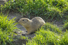 Ground squirrel on a meadow Stock Image