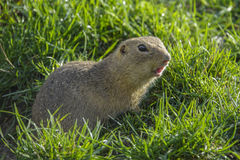 Ground squirrel on a meadow Stock Images