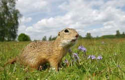 Ground squirrel on meadow Royalty Free Stock Images