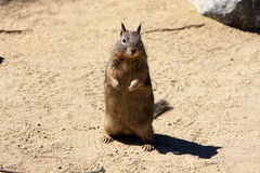Ground squirrel Royalty Free Stock Photography