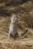 Ground squirrel in Namibia Royalty Free Stock Photography