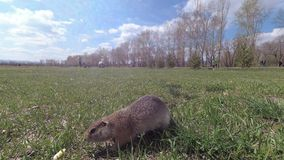 Gophers near his burrow in the meadow stock footage