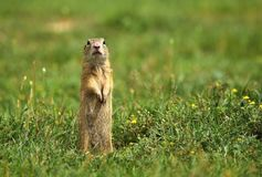 Ground squirrel paying attention Stock Photos