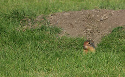 Ground Squirrel Peeking Out Stock Images