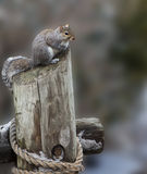 Ground Squirrel Perched atop a Chopped Tree Trun Royalty Free Stock Photography