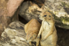 Ground squirrel. A picture of 2 ground squirrels shot with my 85mm prime at at f/1.8 royalty free stock photo