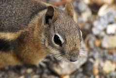 Ground Squirrel Portrait Stock Image