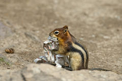 Ground squirrel portrait while eating paper Royalty Free Stock Images