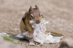 Ground squirrel portrait while eating paper Stock Photos