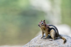 Ground squirrel portrait Royalty Free Stock Images