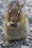 Ground squirrel portrait Stock Photos