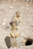 Ground squirrel portrait Royalty Free Stock Photography