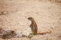 Ground squirrel pregnant female. African ground squirrel pregnant female at her burrow in Kalahari desert of Botswana Royalty Free Stock Photos