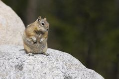 Ground Squirrel on a Rock Royalty Free Stock Photos