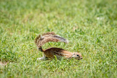 Ground squirrel running in the grass. Royalty Free Stock Image