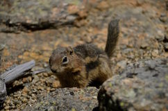 A ground squirrel runs on the rocky ground. A beautiful ground squirrel is camouflaged in the surrounding rocks and pebbles. (focus is only on the head royalty free stock images