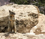 Ground squirrel on it's hind legs Royalty Free Stock Photo