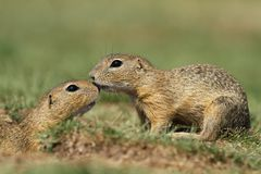 Ground squirrel´s love Royalty Free Stock Image