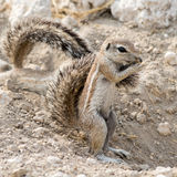 Ground Squirrel. royalty free stock photography