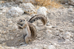 Ground Squirrel. royalty free stock image