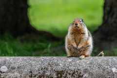 Ground Squirrel Sitting - Canada royalty free stock images