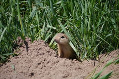 Ground squirrel. Sitting at the entrance to its burrow Stock Photos