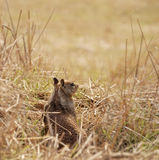 Ground Squirrel Stock Image