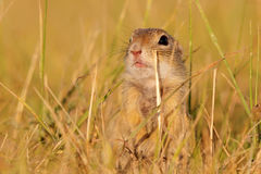 Ground squirrel sitting in the meadow Royalty Free Stock Photos