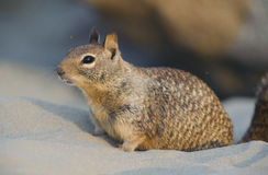 Ground Squirrel. A ground squirrel is sitting on the sand and looks at the camera Stock Photography