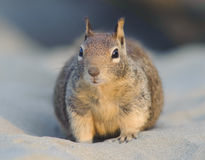 Ground Squirrel. A ground squirrel is sitting on the sand and looks at the camera Royalty Free Stock Photo