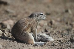 Ground Squirrel Sitting in Sun Royalty Free Stock Photography