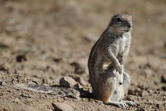 Ground Squirrel Sitting in Sun Royalty Free Stock Photos