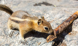 Ground squirrel smell wooden twig. Stock Images