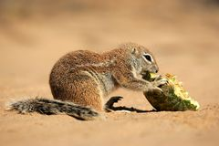 Ground squirrel, South Africa Stock Photos