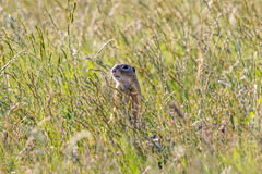 Ground Squirrel (Spermophilus citellus). In the grass royalty free stock photo