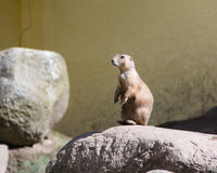 Ground squirrel, spermophilus, european souslik Stock Photo