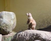 Ground squirrel, spermophilus, european souslik Stock Photo
