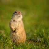 Ground squirrel Spermophilus pygmaeus standing in the grass.  Stock Photos
