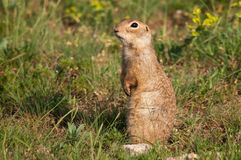 Ground squirrel Spermophilus pygmaeus standing in the grass.  Stock Photography