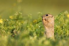 Ground squirrel Spermophilus pygmaeus standing in grass.  Stock Photos