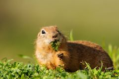 Ground squirrel Spermophilus pygmaeus standing in the grass. Stock Photo