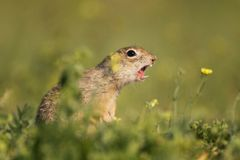 Ground squirrel Spermophilus pygmaeus standing in grass and shouts. Ground squirrel Spermophilus pygmaeusstanding waist-deep in the grass on a beautiful Stock Images