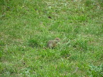 Ground squirrel in Spis castle, Slovakia. Ground squirrel in Spis castle in Slovakia stock images