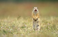 Ground squirrel squeaking Royalty Free Stock Photo