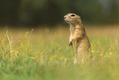Ground squirrel standing stock photos