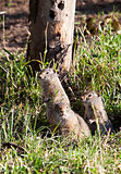 Ground Squirrel Standing in Grass Stock Images