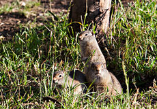 Ground Squirrel Standing in Grass Stock Image