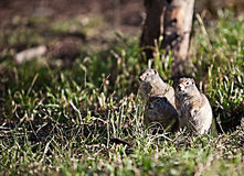 Ground Squirrel Standing in Grass Royalty Free Stock Photography