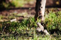 Ground Squirrel Standing in Grass Stock Photos